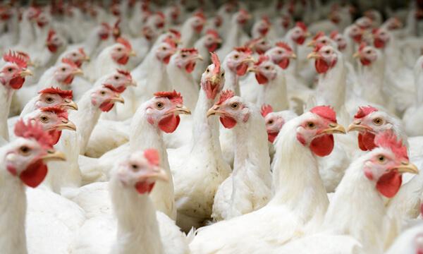 Visie van Niamh Williams waarom millenials vergeleken worden met legbatterij kippen